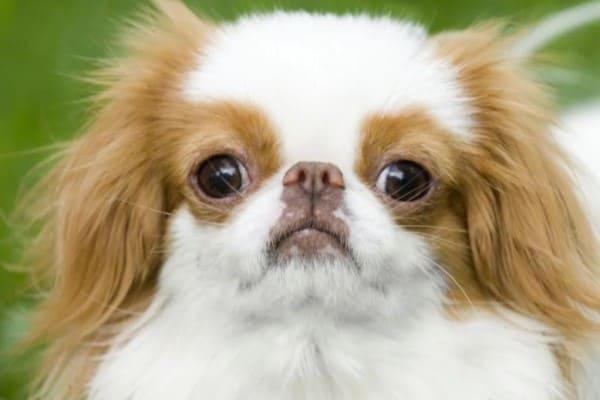 Собаки породы японский хин: характер, уход, питание (+Фото)
