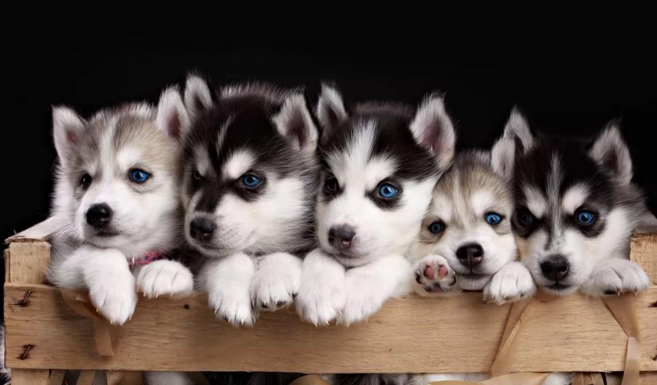собаки щенки хаски